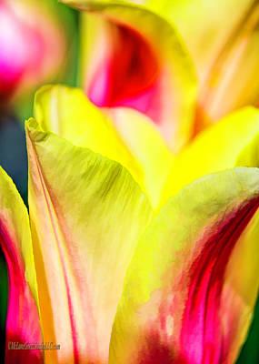 Photograph - Blushing Lady Tulips by LeeAnn McLaneGoetz McLaneGoetzStudioLLCcom