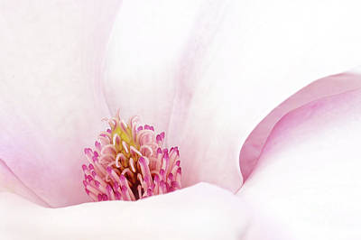 Photograph - Blushing Magnolia by Anita Pollak