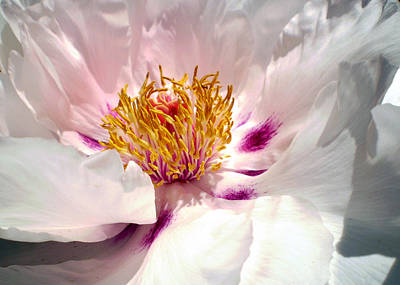 Photograph - Blushing Peony by Sandy Fisher