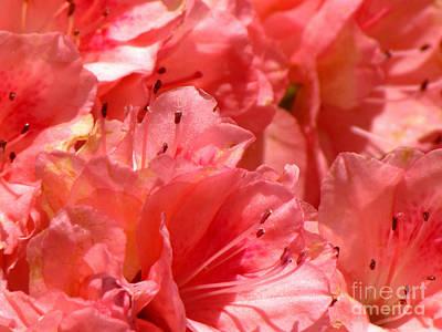 Blushing Pink Azaleas Art Print by Gardening Perfection