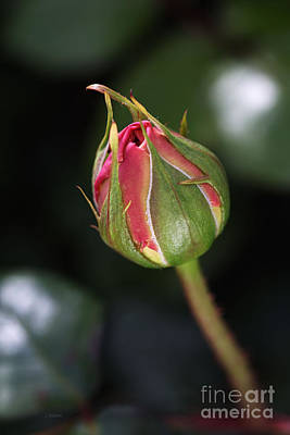 Photograph - Blushing Rose Bud by Joy Watson