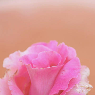 Photograph - Blushing Rose by Cindy Garber Iverson