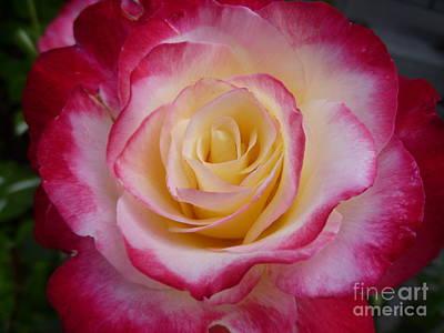 Floribunda Photograph - Blushing Rose by Lingfai Leung