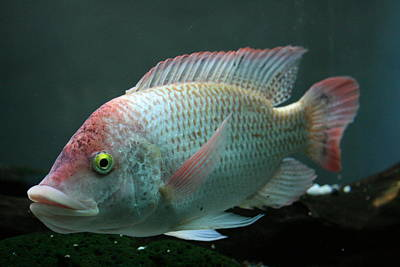 Photograph - Blushing Tilapia by Jennifer Bright