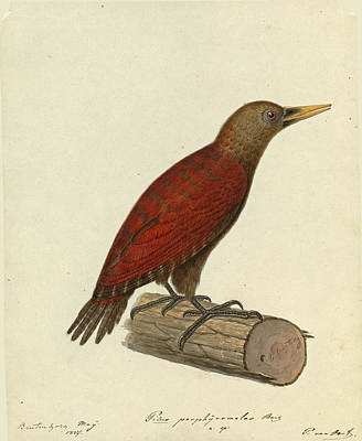 Drawing - Blythipicus Rubiginosus by Pieter van Oort