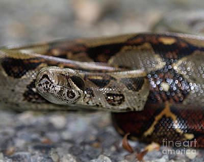 Photograph - Boa Constrictor by Chris Scroggins