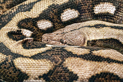 Python Photograph - Boa Constrictor by Tom Mc Nemar