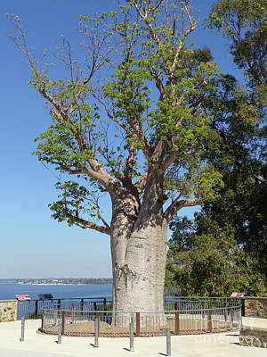 Photograph - Boab Tree - Kings Park by Phil Banks