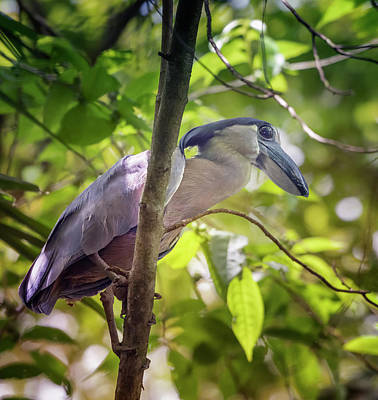 Photograph - Boat Billed Heron Costa Rica by Joan Carroll