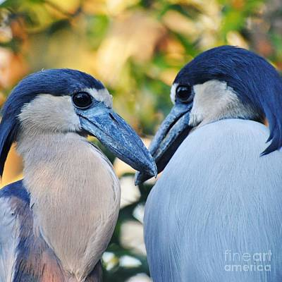Photograph - Boat Billed Heron Pair by Rose  Hill
