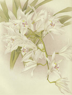 White Orchid Painting - Boat Orchid  Cymbidium by English School