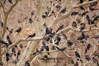 Photograph - Boat Tailed Grackle 5034 by Captain Debbie Ritter