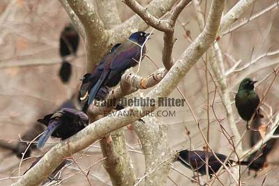 Photograph - Boat Tailed Grackle 5040 by Captain Debbie Ritter