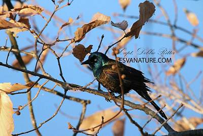 Photograph - Boat-tailed Grackle 9587 by Captain Debbie Ritter