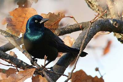 Photograph - Boat-tailed Grackle 9688 by Captain Debbie Ritter