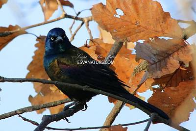 Photograph - Boat-tailed Grackle 9720 by Captain Debbie Ritter