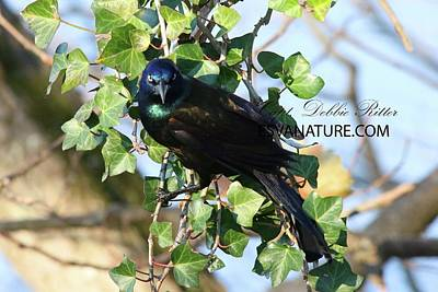 Photograph - Boat-tailed Grackle 9763 by Captain Debbie Ritter