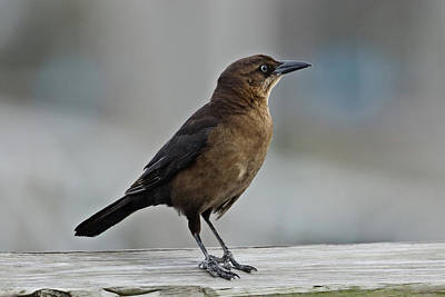 Photograph - Boat Tailed Grackle by John Haldane