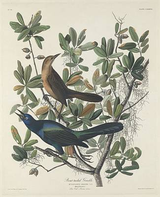 Boat Drawing - Boat-tailed Grackle by Rob Dreyer