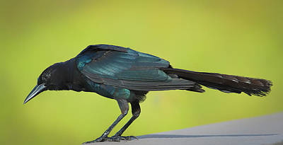 Photograph - Boat-tailed Grackle Male by Richard Goldman