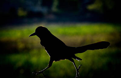 Photograph - Boat Tailed Grackle Silhouette by Richard Goldman
