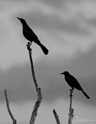 Photograph - Boat Tailed Grackles Bw by David A Lane