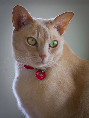 Photograph - Bobby The Burmese Cat by Jenny Setchell