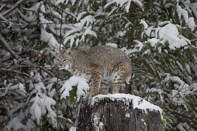 Photograph - Bobcat - 1141 by Teresa Wilson