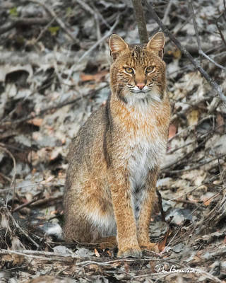 Photograph - Bobcat 7055 by Dan Beauvais