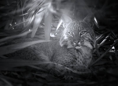 Photograph - Bobcat At Sunrise by Mark Andrew Thomas