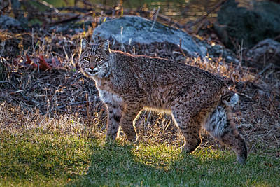 Photograph - Bobcat by Bill Wakeley
