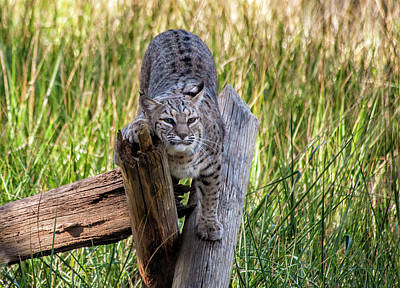 Photograph - Bobcat by Cathie Crow