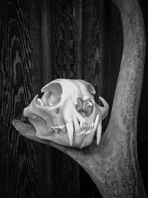 Photograph - Bobcat Deer Antler Bw 2 by Ronda Broatch