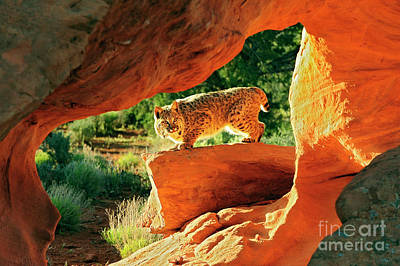 Bobcat Art Print by Dennis Hammer