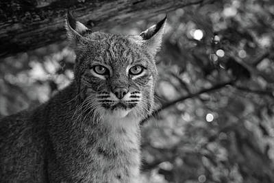 Photograph - Bobcat In Black And White by Jesse MacDonald