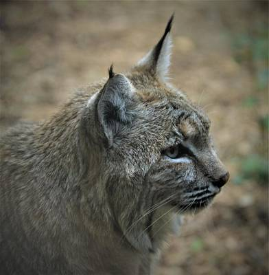 Photograph - Bobcat In Profile by Kathy Kelly