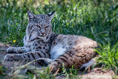 Photograph - Bobcat In The Grass 2 by Teresa Wilson