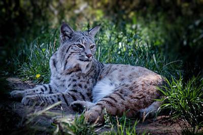 Photograph - Bobcat In The Grass by Teresa Wilson