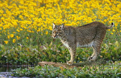 Photograph - Bobcat In The Swamp by Myrna Bradshaw