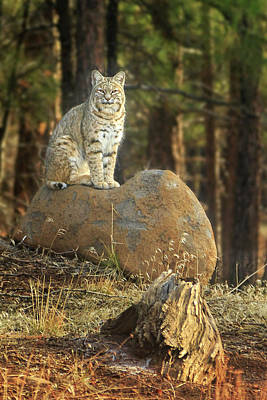 Photograph - Bobcat In The Woods by James Eddy