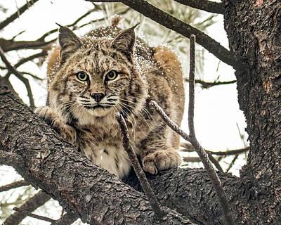 Photograph - Bobcat In Winter by Dawn Key