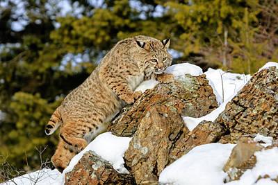 Photograph - Bobcat  by Jack Bell