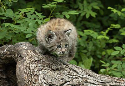 Bobcat Kitten Exploration Print by Sandra Bronstein