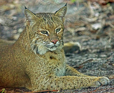 Photograph - Bobcat by Larry Nieland
