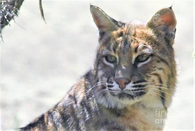 Photograph - Bobcat by Laurianna Taylor