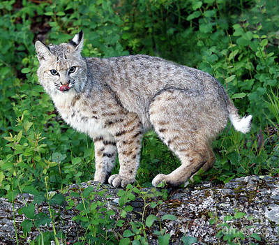 Photograph - Bobcat Lick by Art Cole