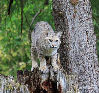 Bobcat Art Print by Louise Heusinkveld