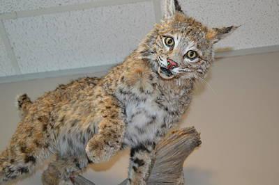 Bobcat Original by Lynn Jung