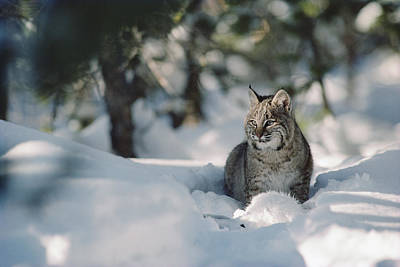 Bobcat Lynx Rufus Adult Resting In Snow Art Print