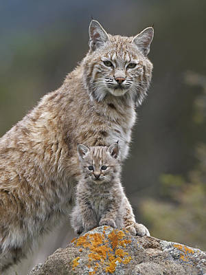 Bobcat Mother And Kitten North America Art Print
